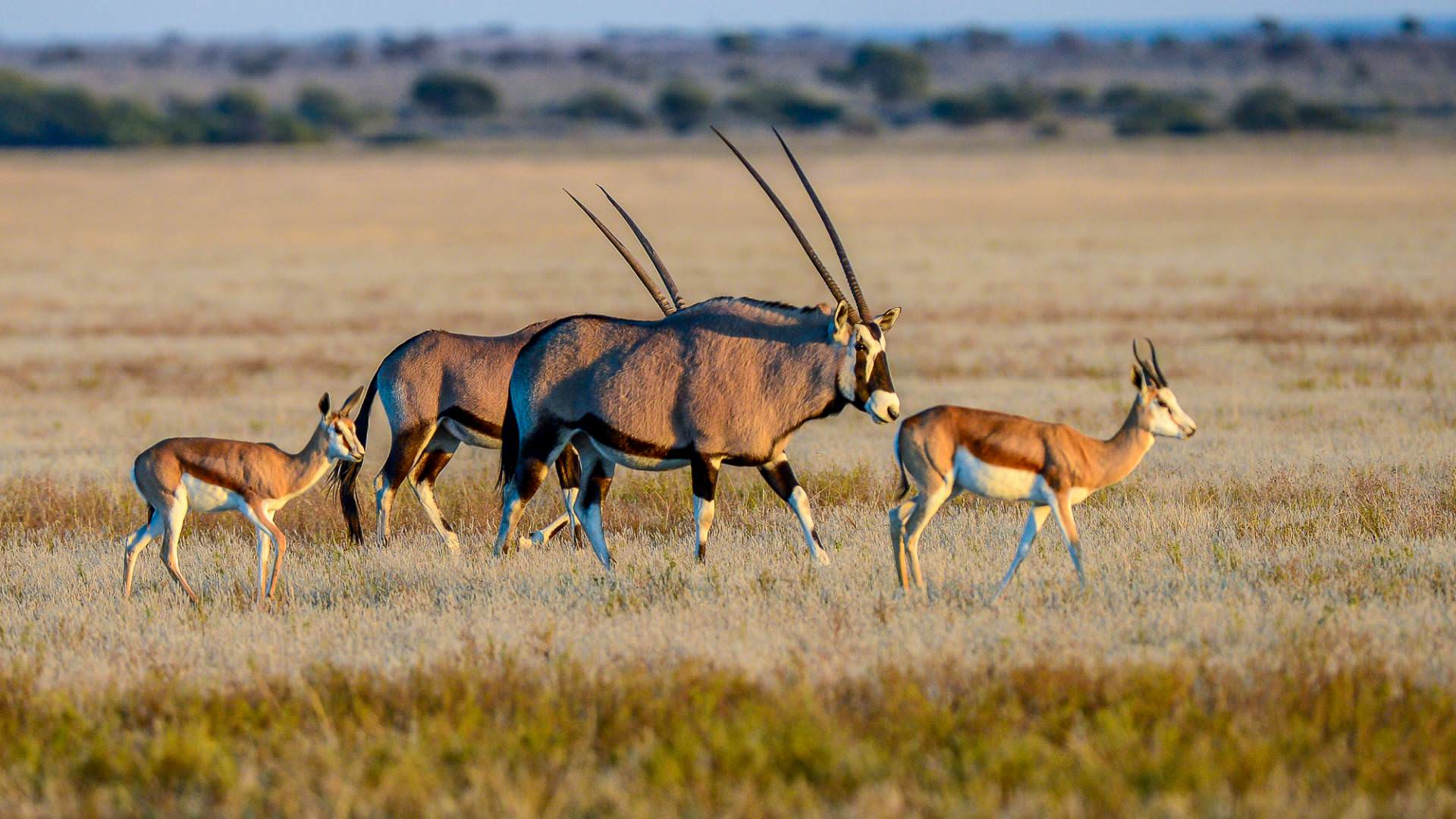 Desert Oryx on Game drive with Kwando Tau pan camp central kalahari