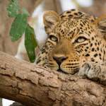 leopard relaxing in a tree south luangwa valley with Kafunta safaris
