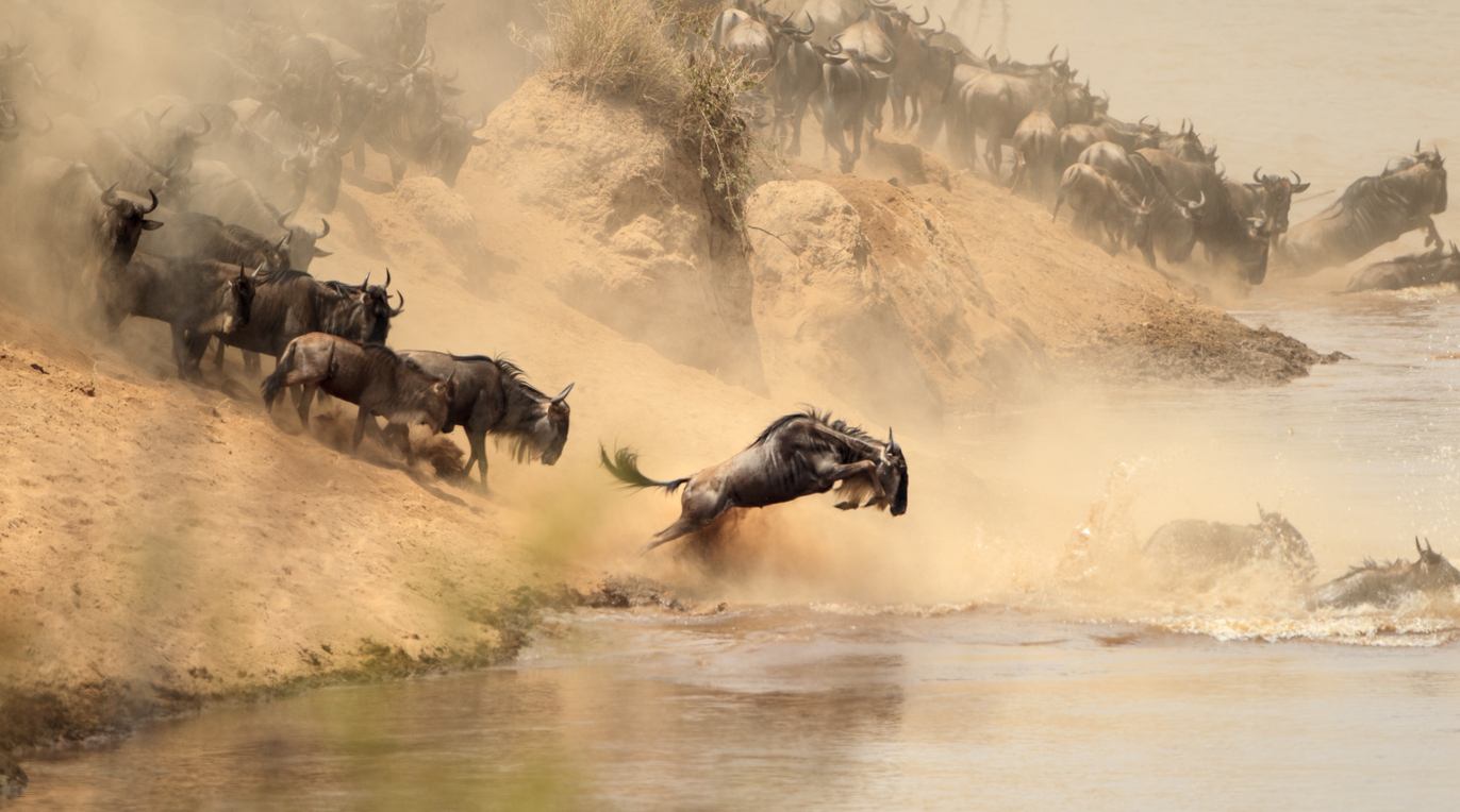 Gnus im fluss springen - great migrations