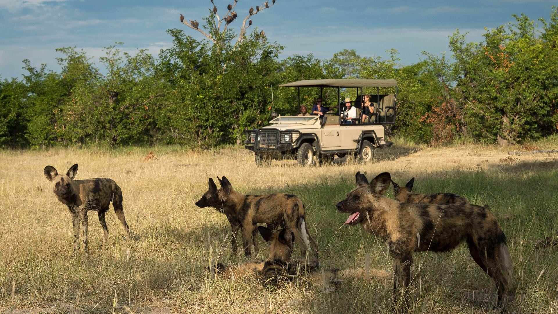 Wildogs on safari with Kings pool in Linyanti